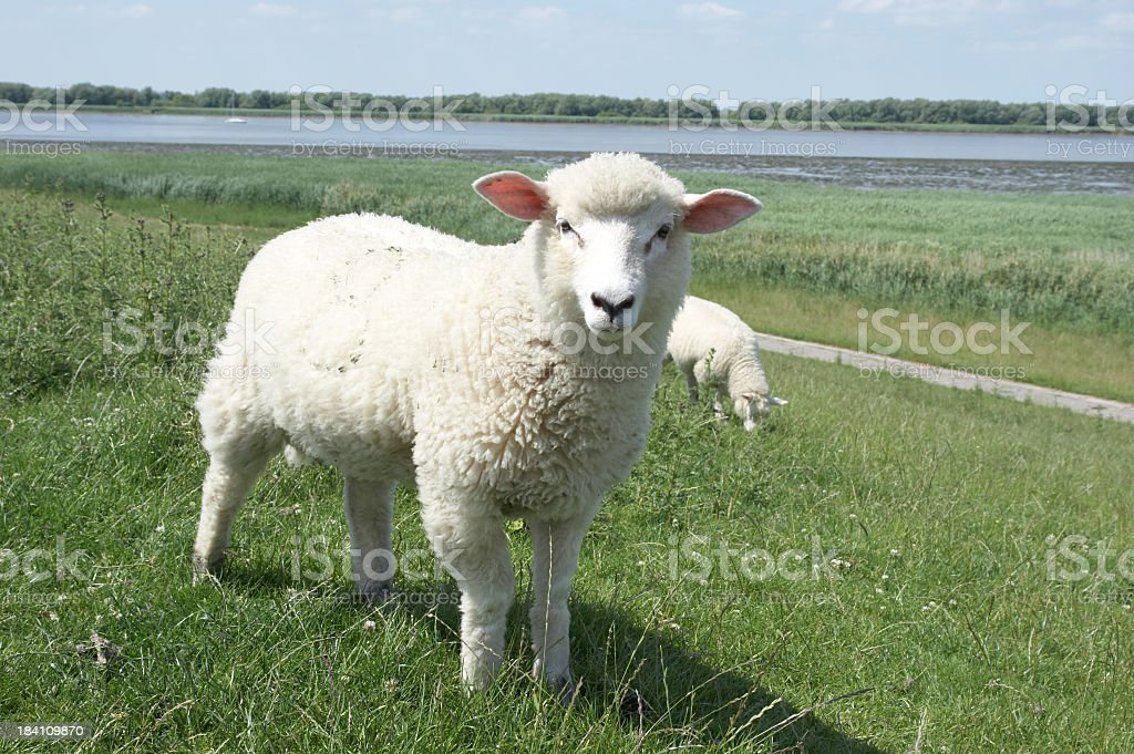 White sheep on a grassy hillock in front of a lake royalty-free stock photo