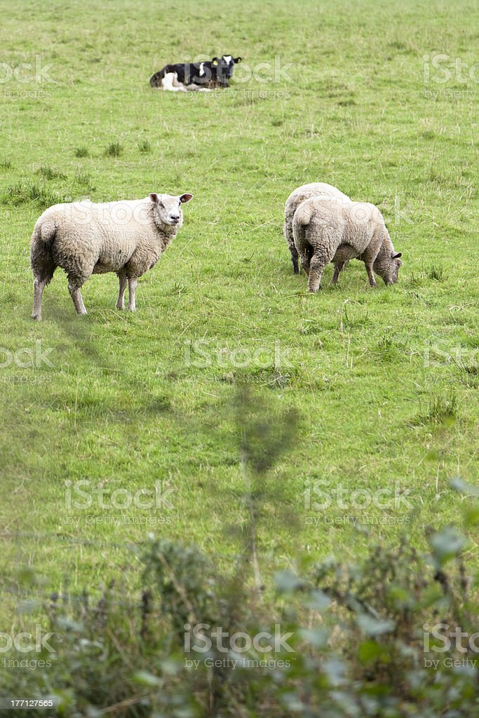 White Sheep Outdoor stock photo