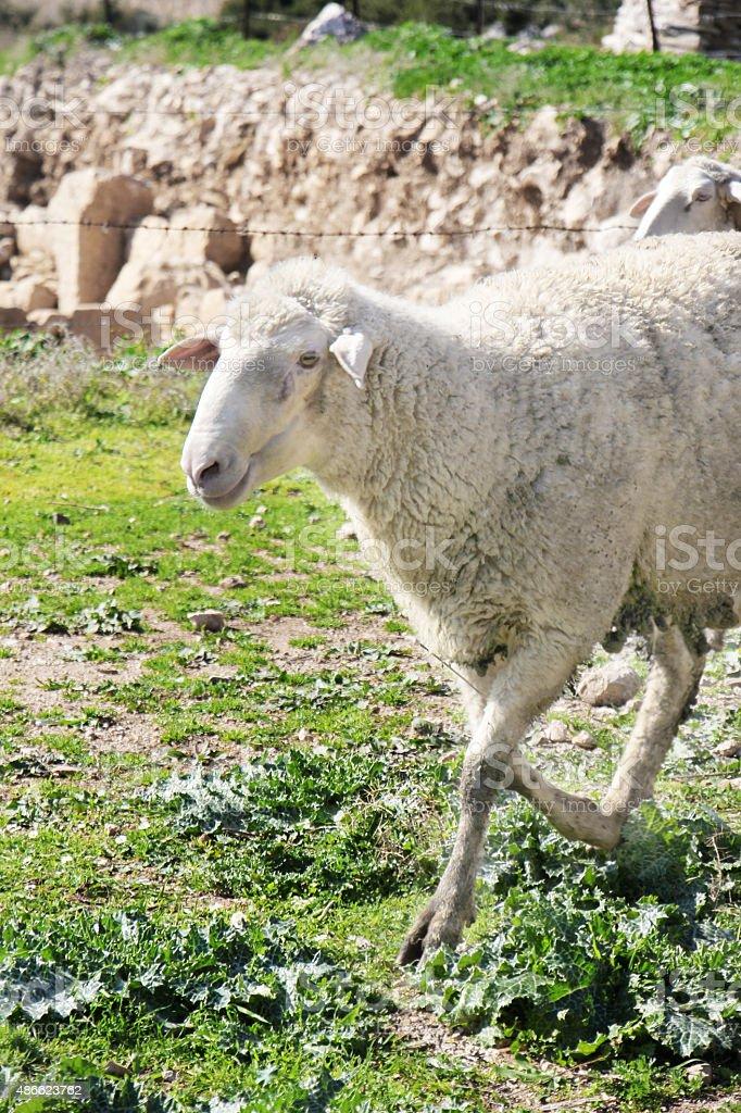 Белый овец Стоковые фото Стоковая фотография