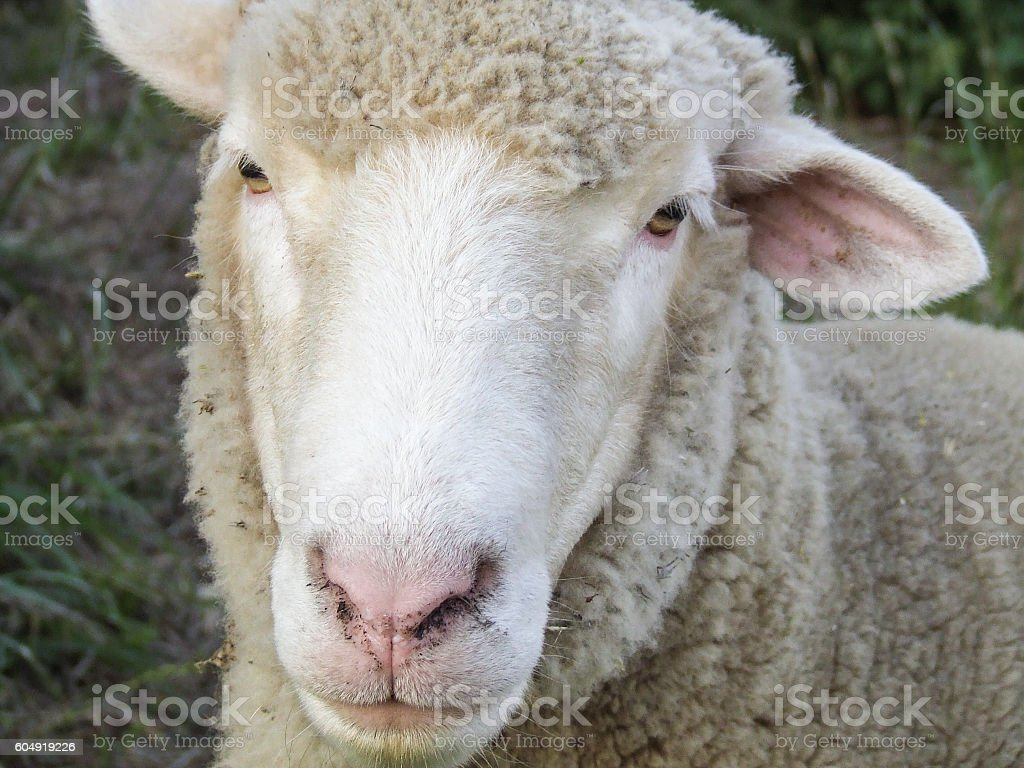 White sheep portrait stock photo