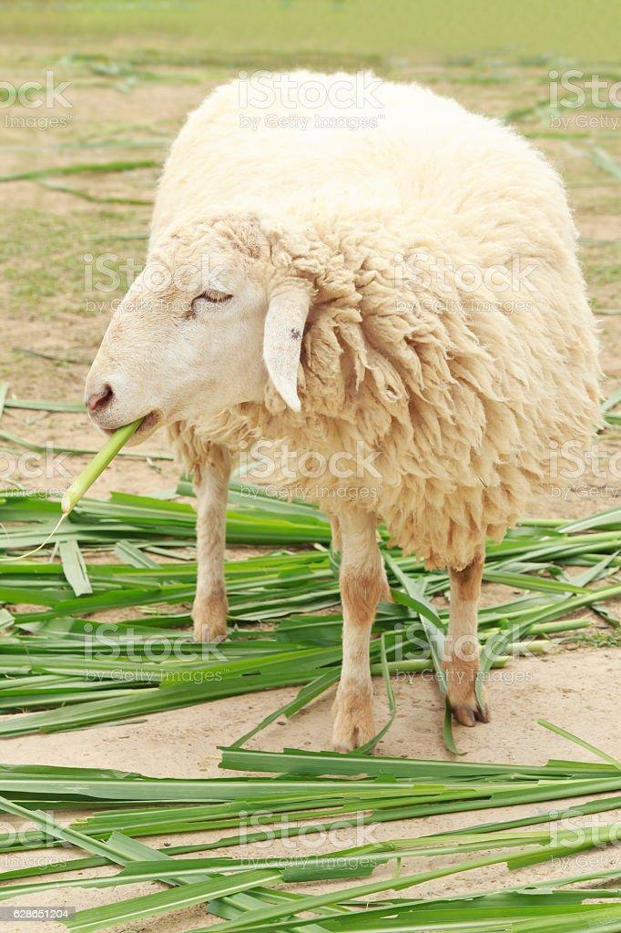 White sheep smile eating grass stock photo