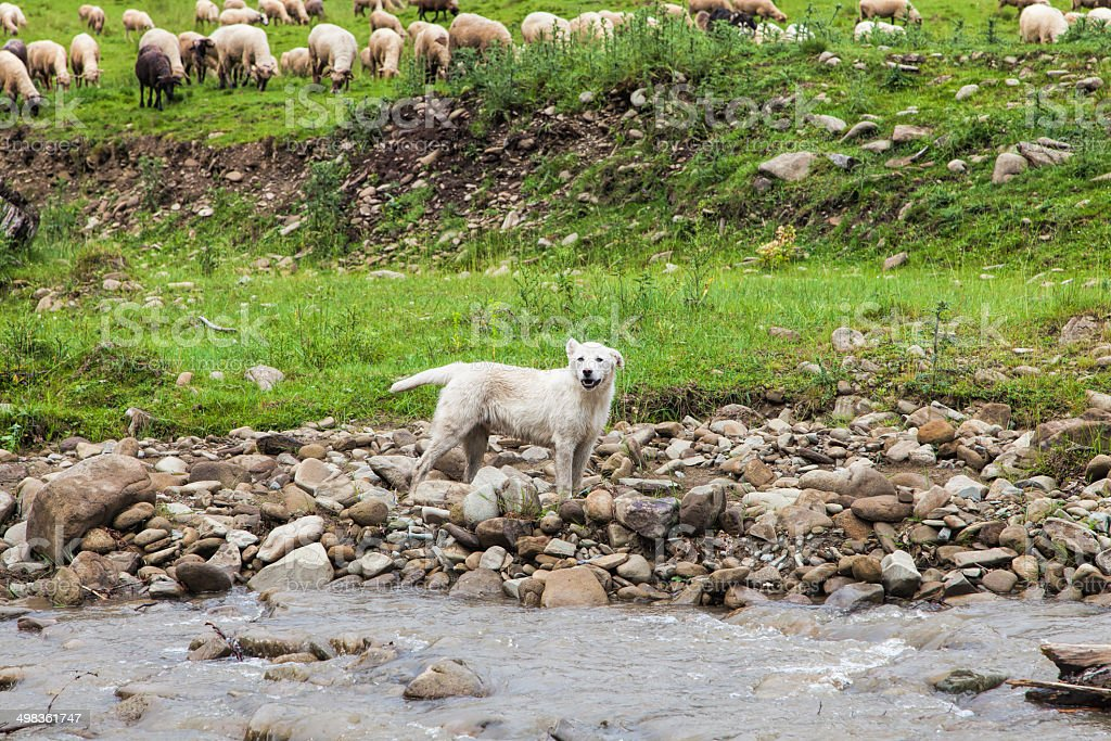 White sheepdog with a lot sheep in work stock photo
