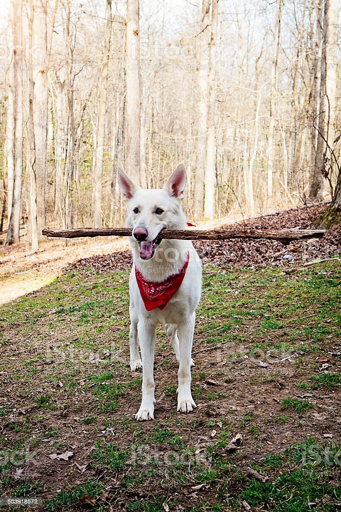 White Shepherd Dog Outdoors With Big Stick stock photo