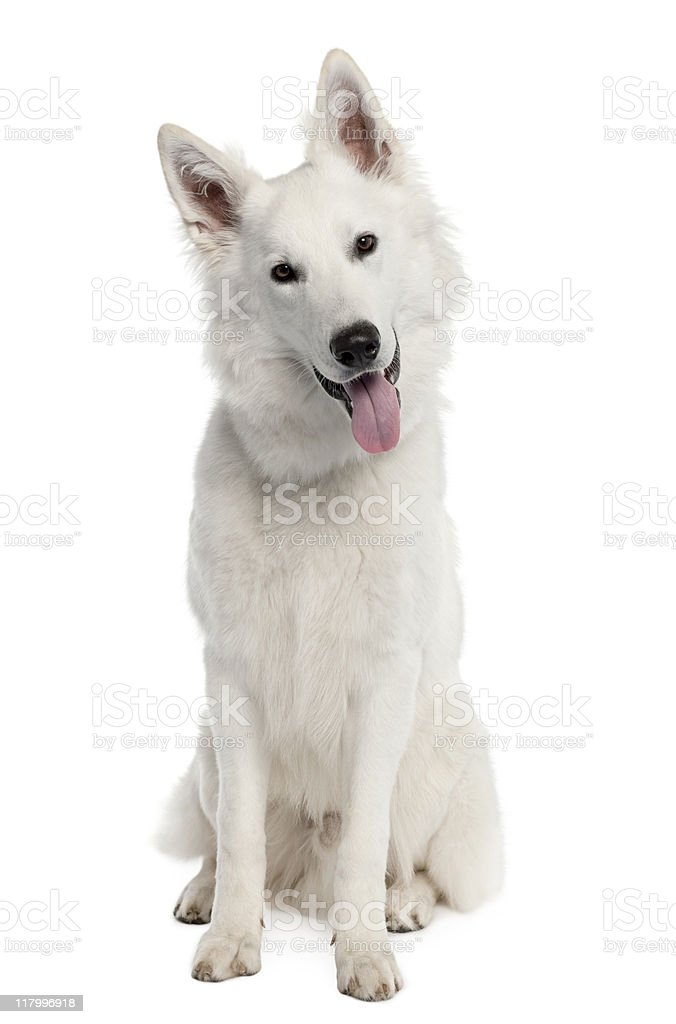 White Shepherd Dog (9 months old) stock photo