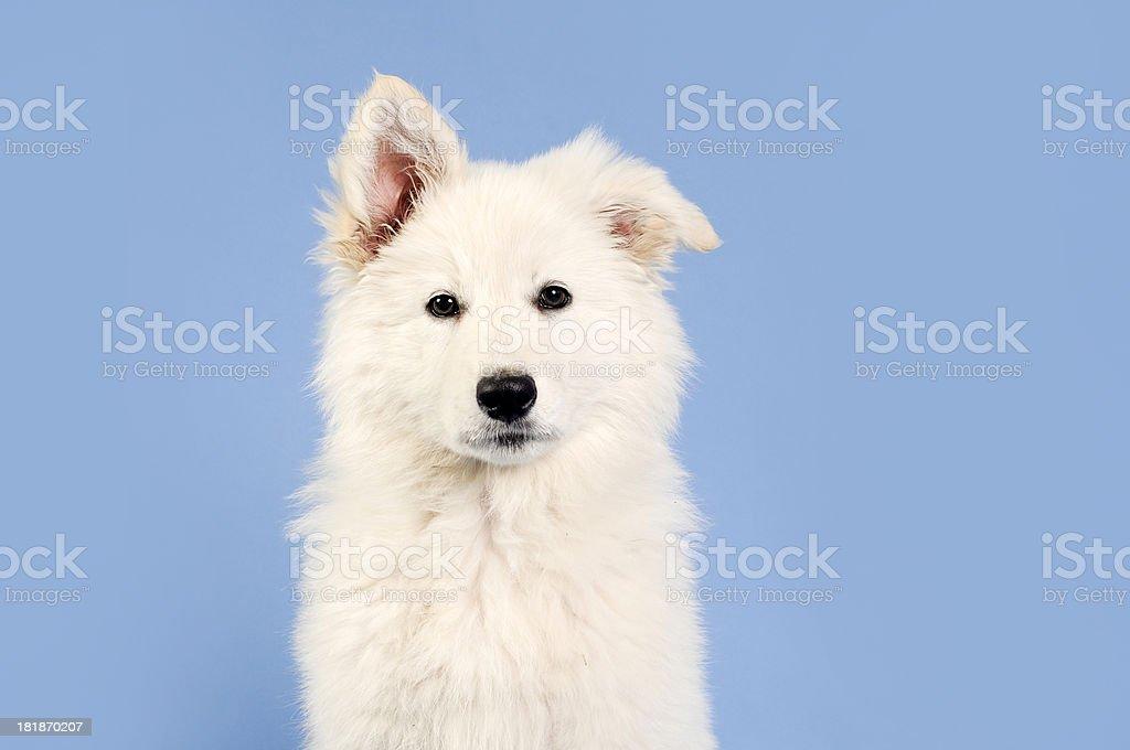 White shepherd puppy royalty-free stock photo