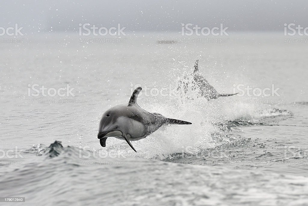 White sided Dolphin stock photo