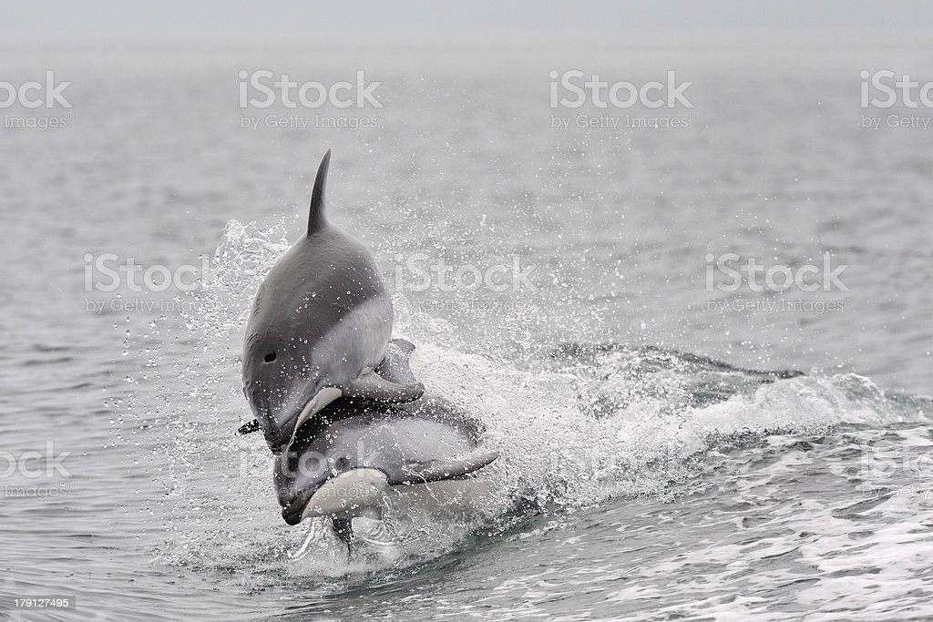 White sided Dolphin royalty-free stock photo