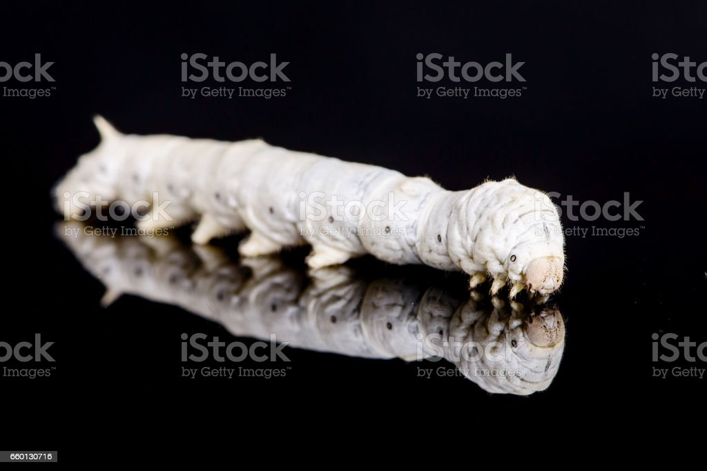 White silkworm stock photo
