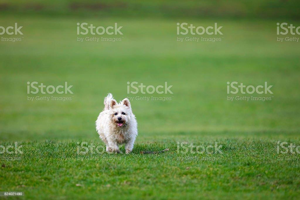 White small dog fetching a stick stock photo