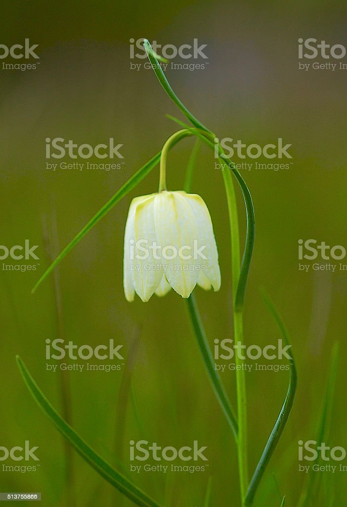 White Snake's Head Fritillary stock photo