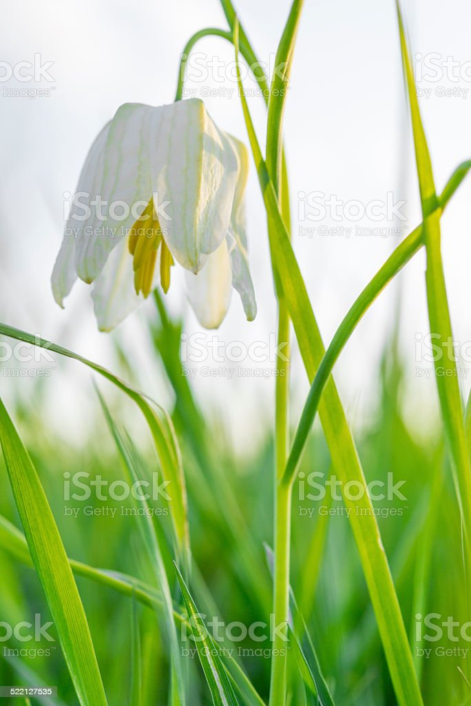 White Snakes Head Fritillary stock photo