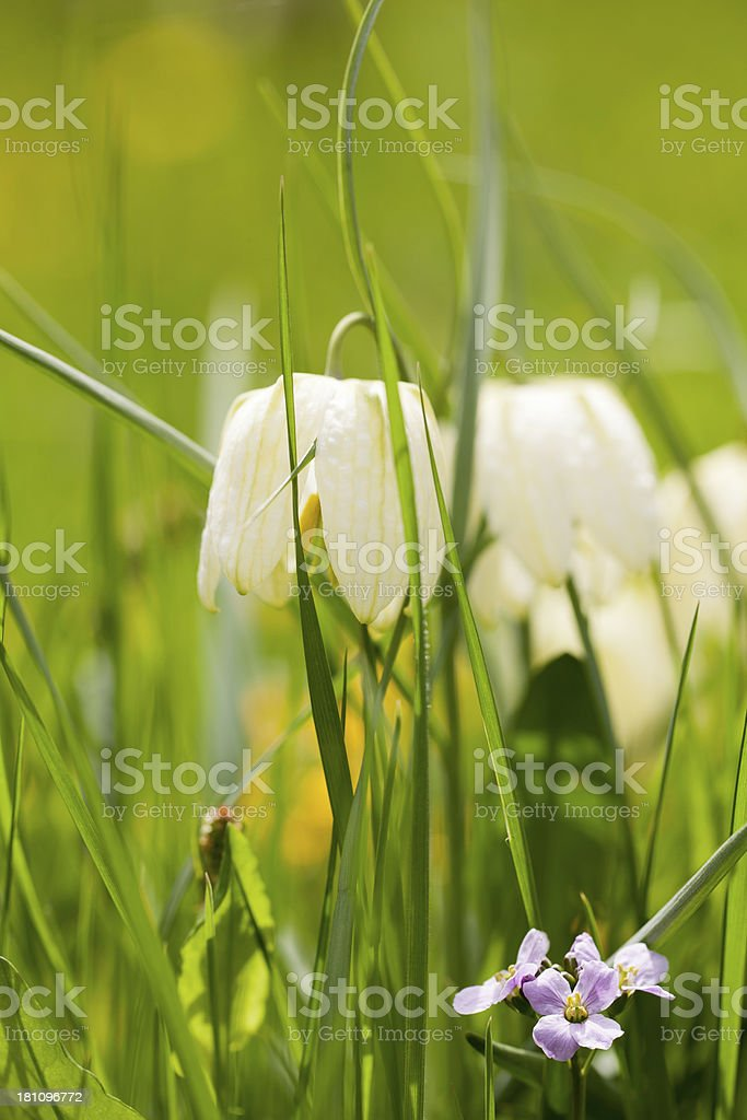White Snake's Head (Fritillaria meleagris) stock photo