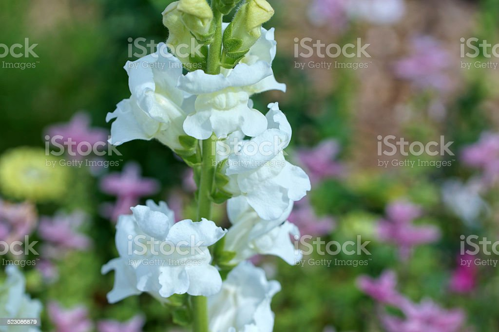 White snapdragon flower stock photo