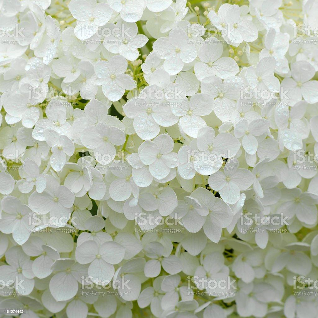 White Snowball Hydrangea, Hydrangeaceae stock photo