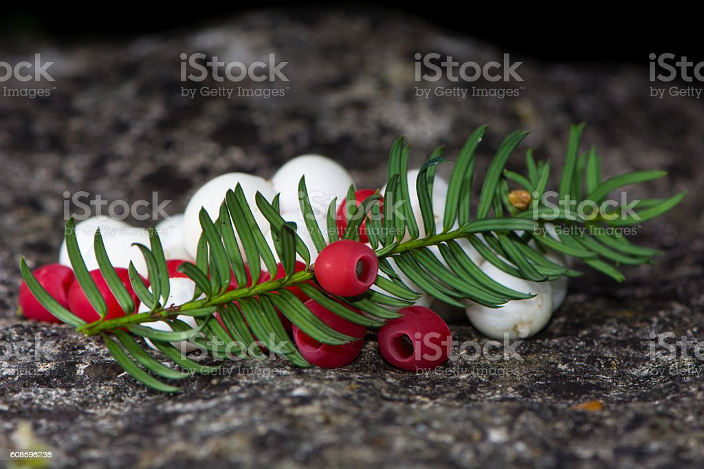 White snowberries and red yew berries arranged with leaves stock photo