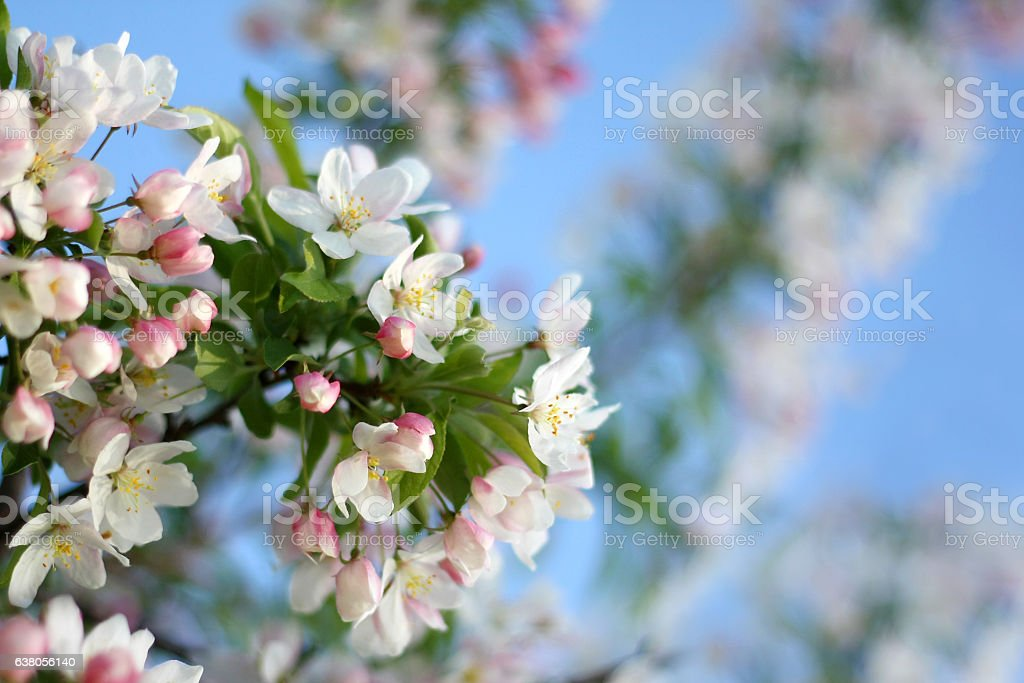 White SnowDrift Crabapple Tree Flower Blossoms stock photo