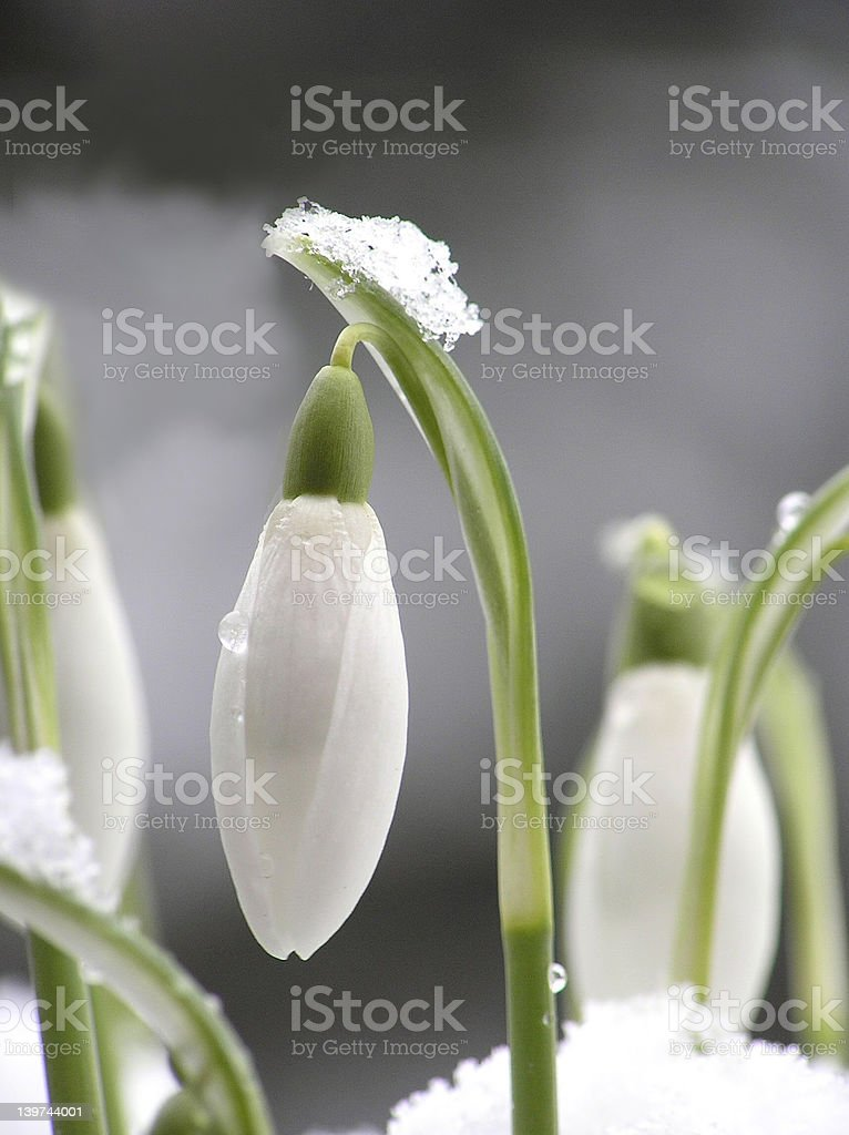 white snowdrop royalty-free stock photo