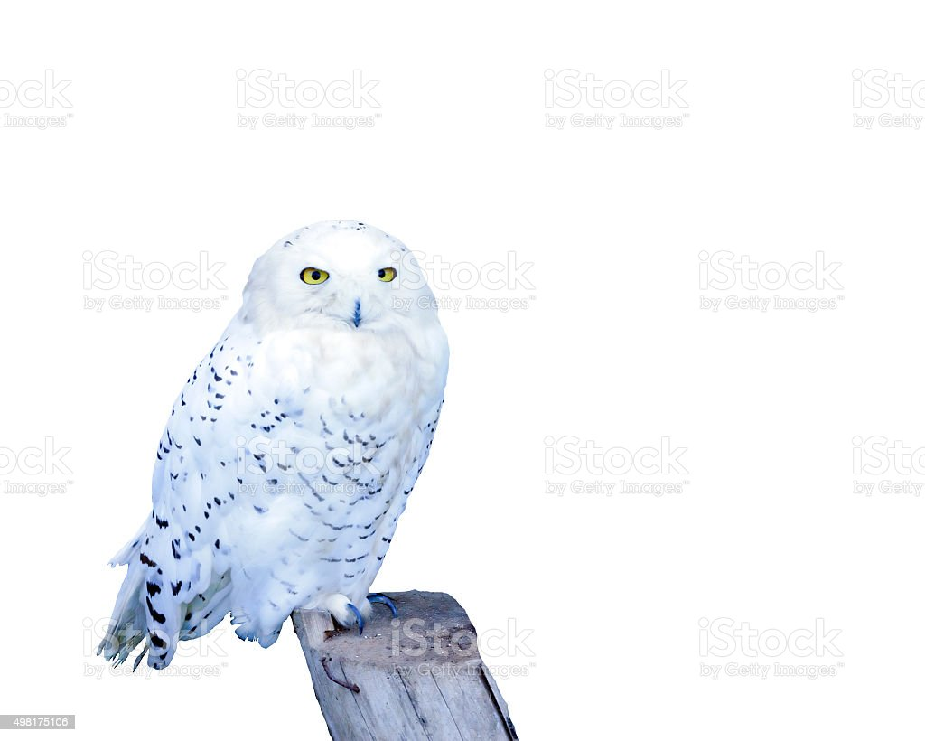 White snowy owl stock photo