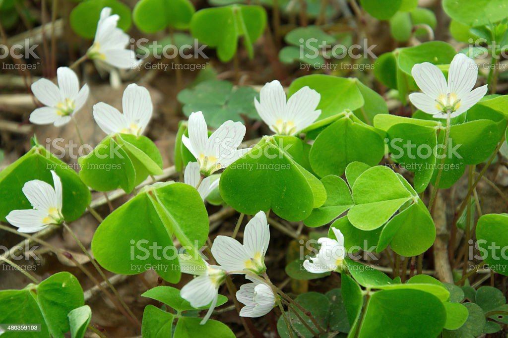 white sorrel in nature stock photo