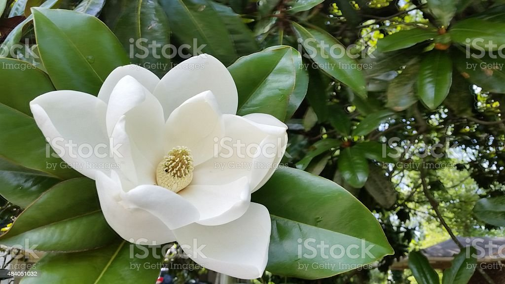 White Southern Magnolia Flower in Bloom on Tree Atlanta Georgia stock photo