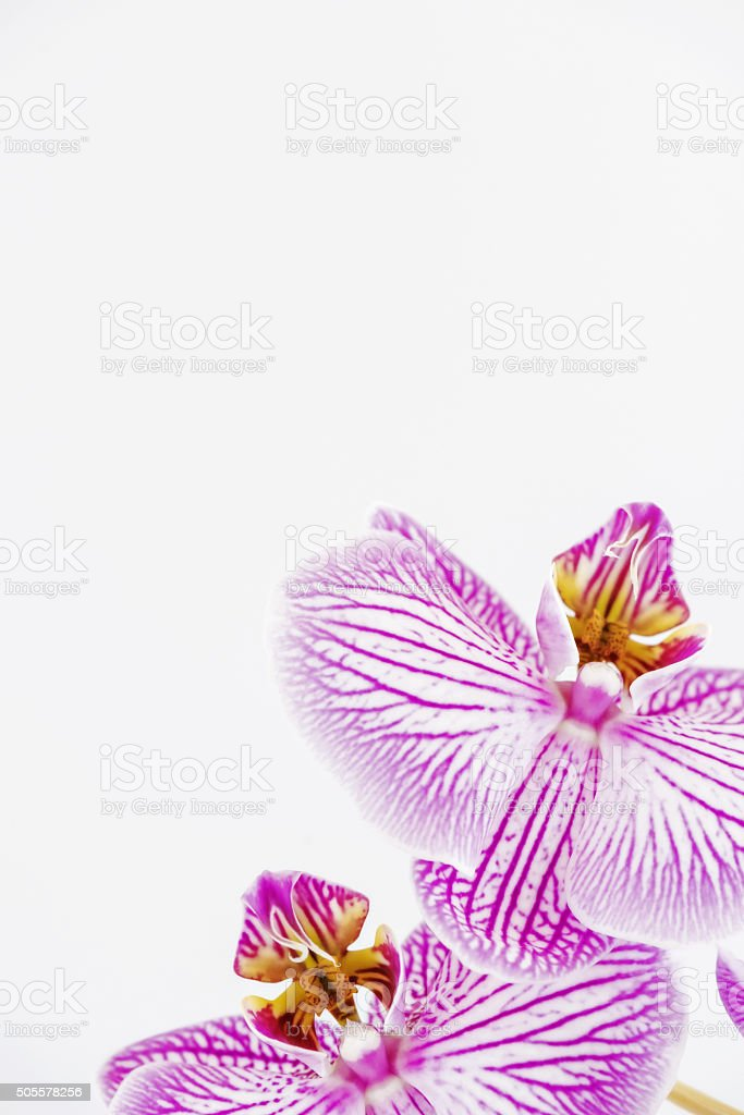 White Space and Orchids 2 stock photo