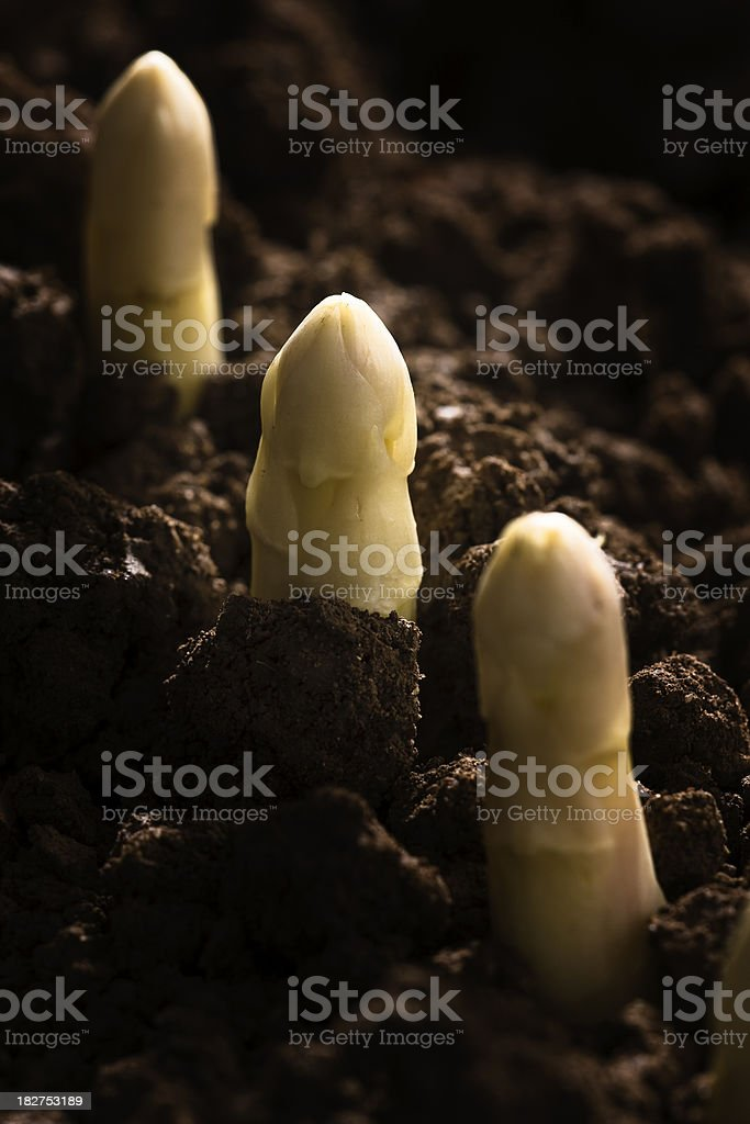 White Spargel growing in a field royalty-free stock photo