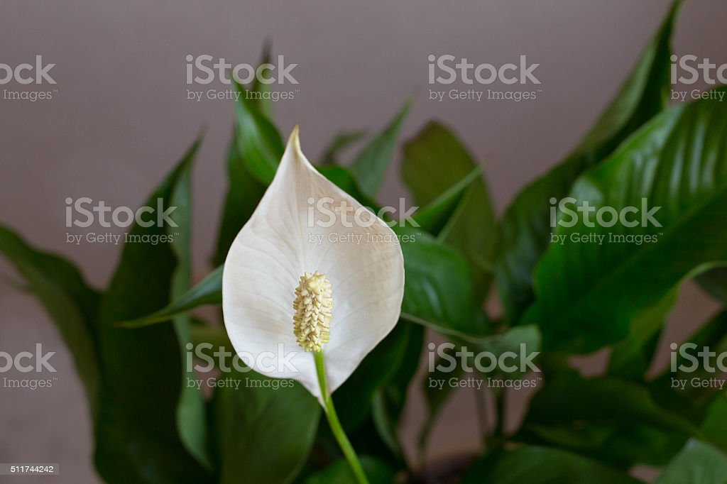 White spathiphyllum with green leaves stock photo