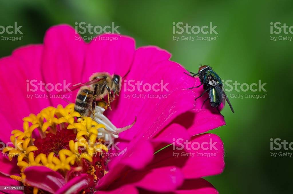 White spider caught and a bee royalty-free stock photo