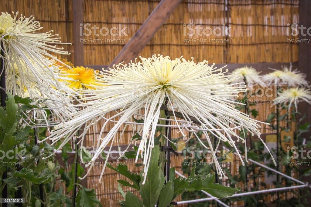 White spider Chrysanthemum blooming in the garden stock photo