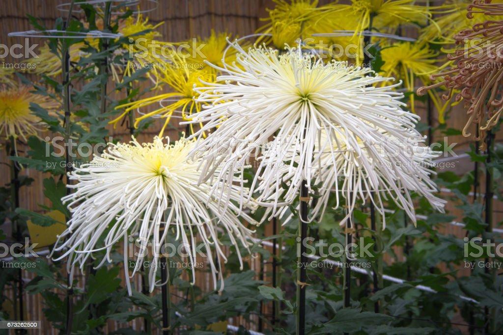 White spider Chrysanthemum in the garden stock photo
