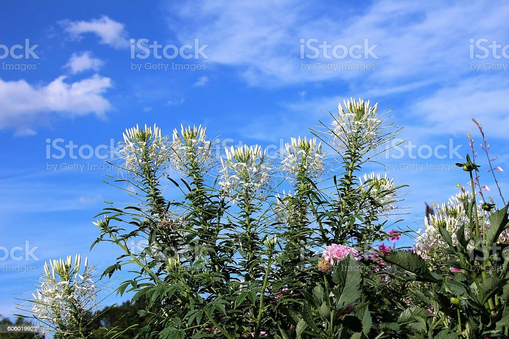 White spider flowers stock photo