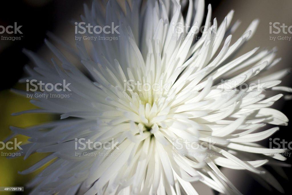White Spider Mum, Chrysanthemum morifolium stock photo