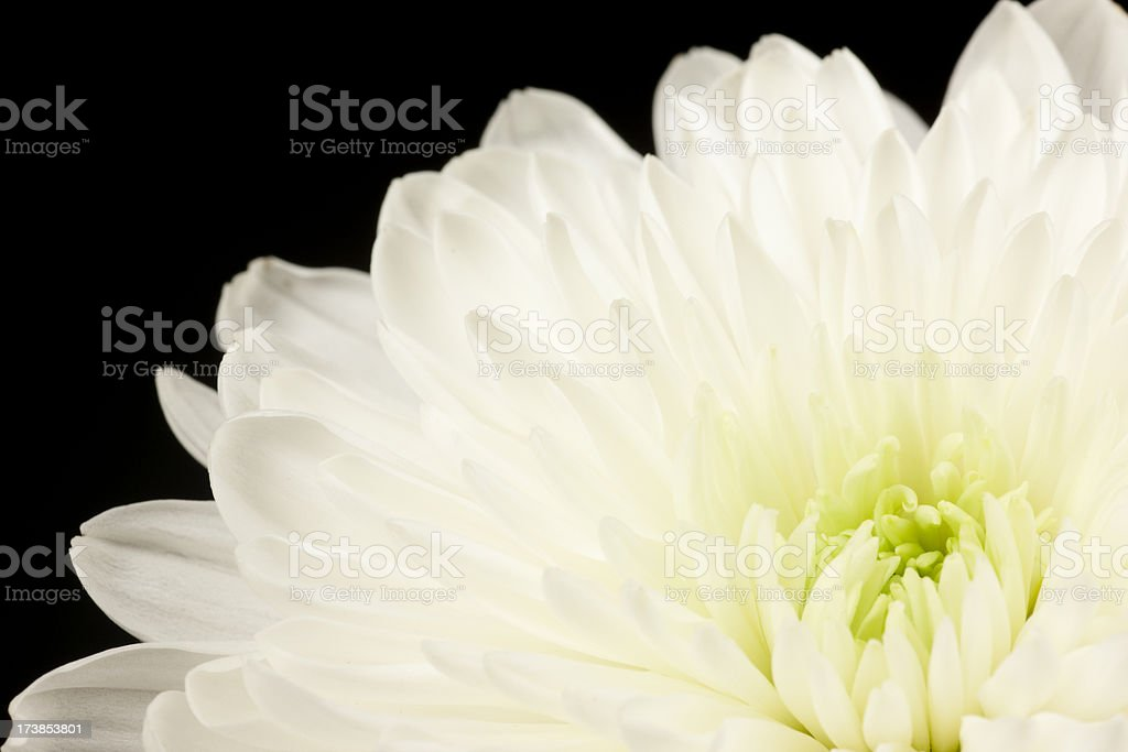 White Spider Mum, Flower, Petals, Delicate, Close-Up, Isolated-on-Black stock photo