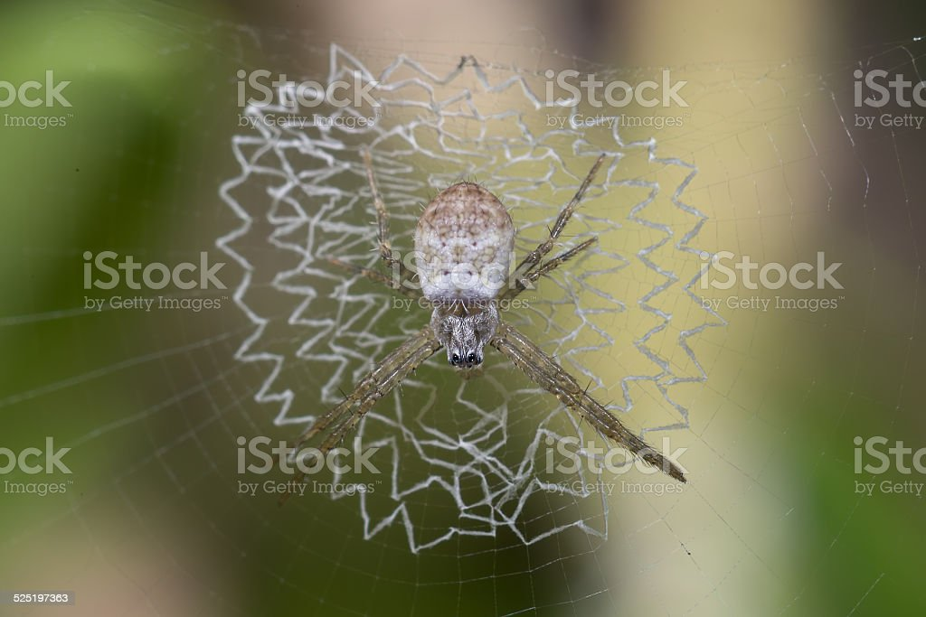 White Spider on its damaged web stock photo