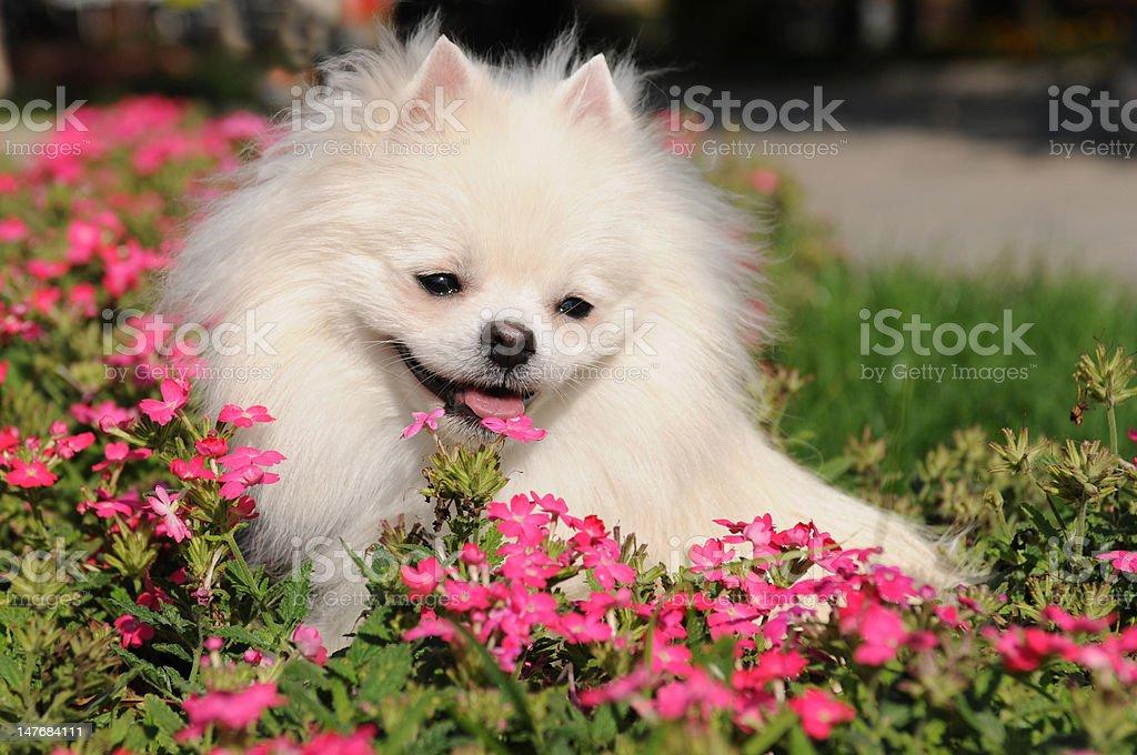 White spitz in flowers stock photo