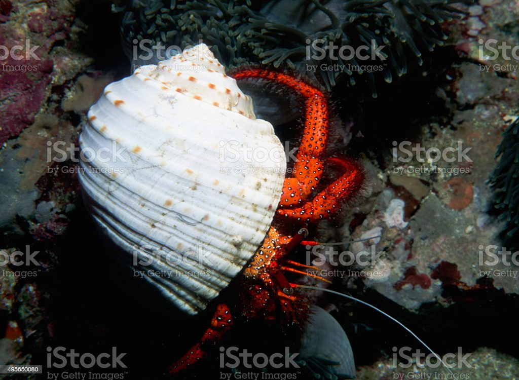 White Spotted Hermit Crab - Myanmar royalty-free stock photo