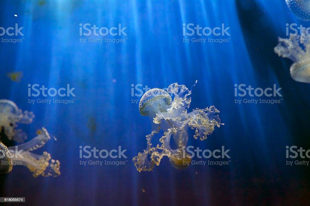 White spotted jellyfish (Phyllorhiza puntata) stock photo
