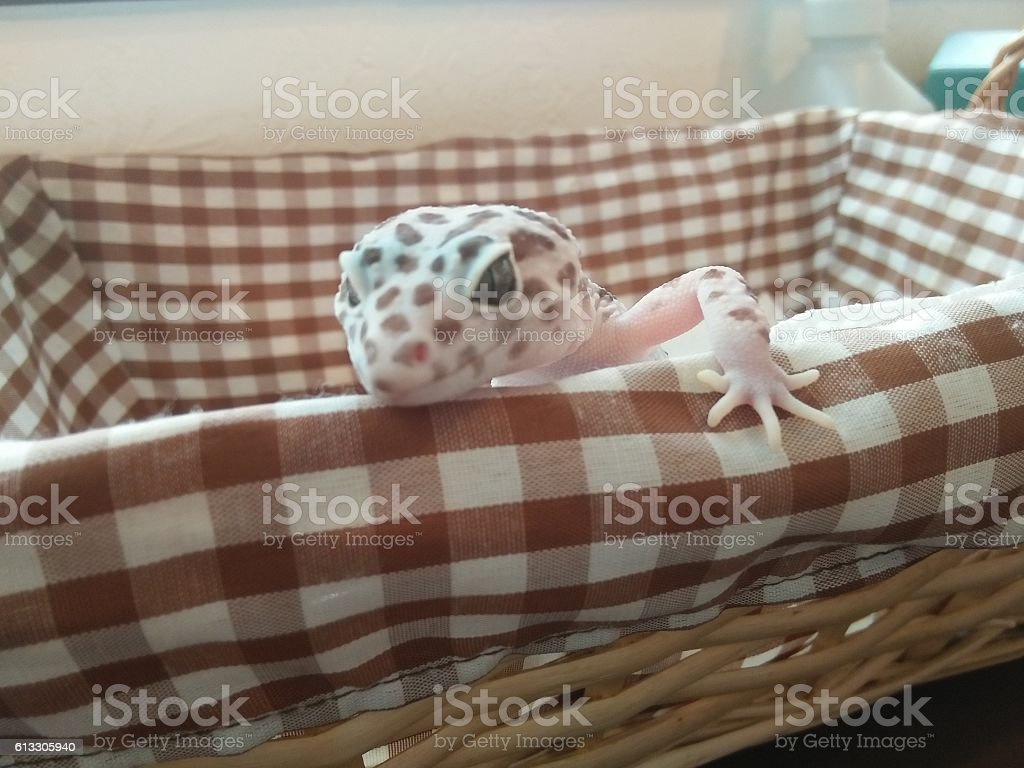 White Spotted Leopard Gecko stock photo