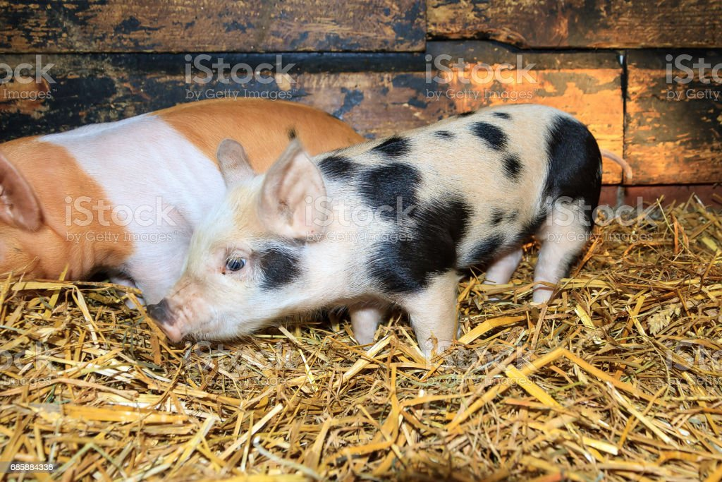 White spotted piglet stock photo