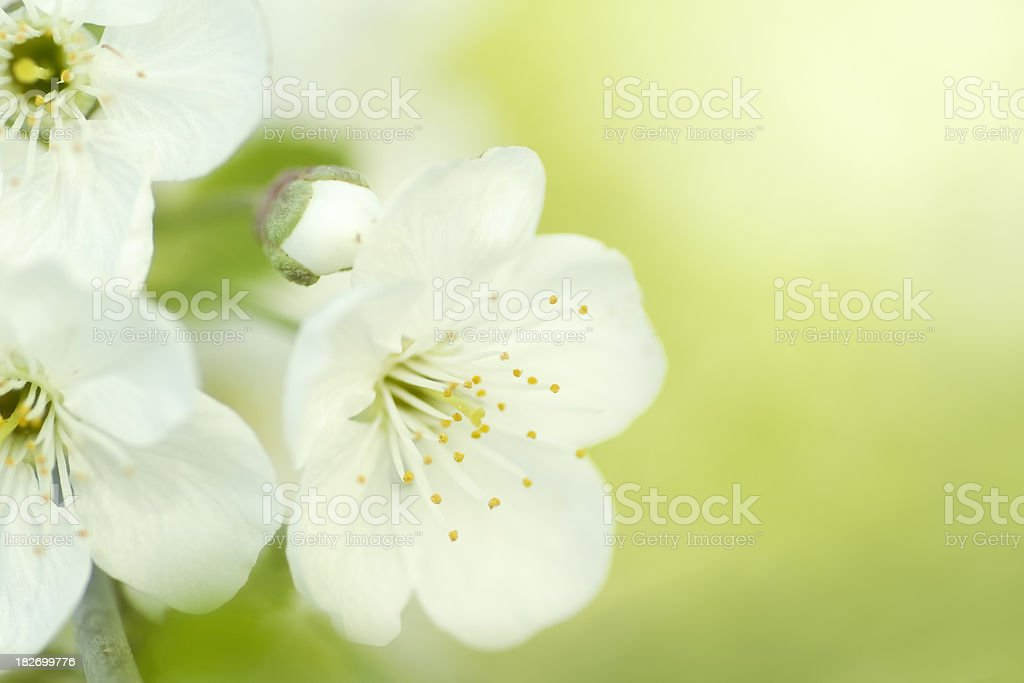White spring blossom royalty-free stock photo