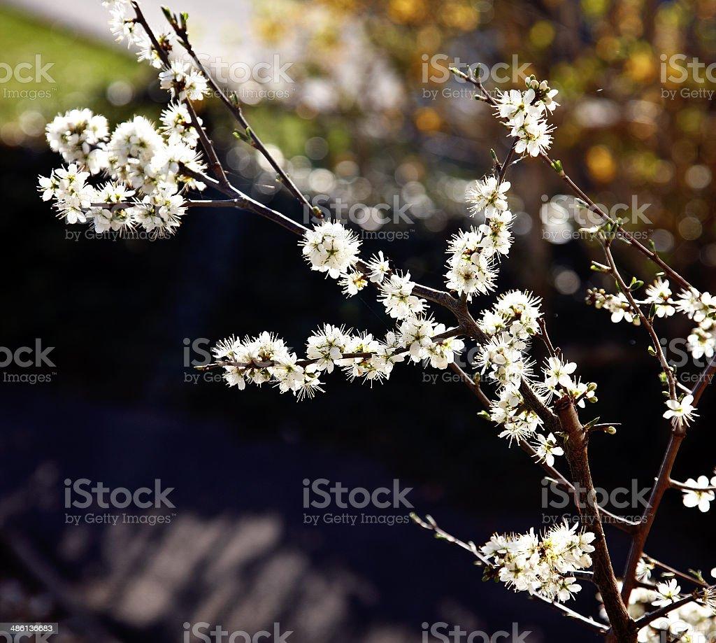 White spring blossoms stock photo