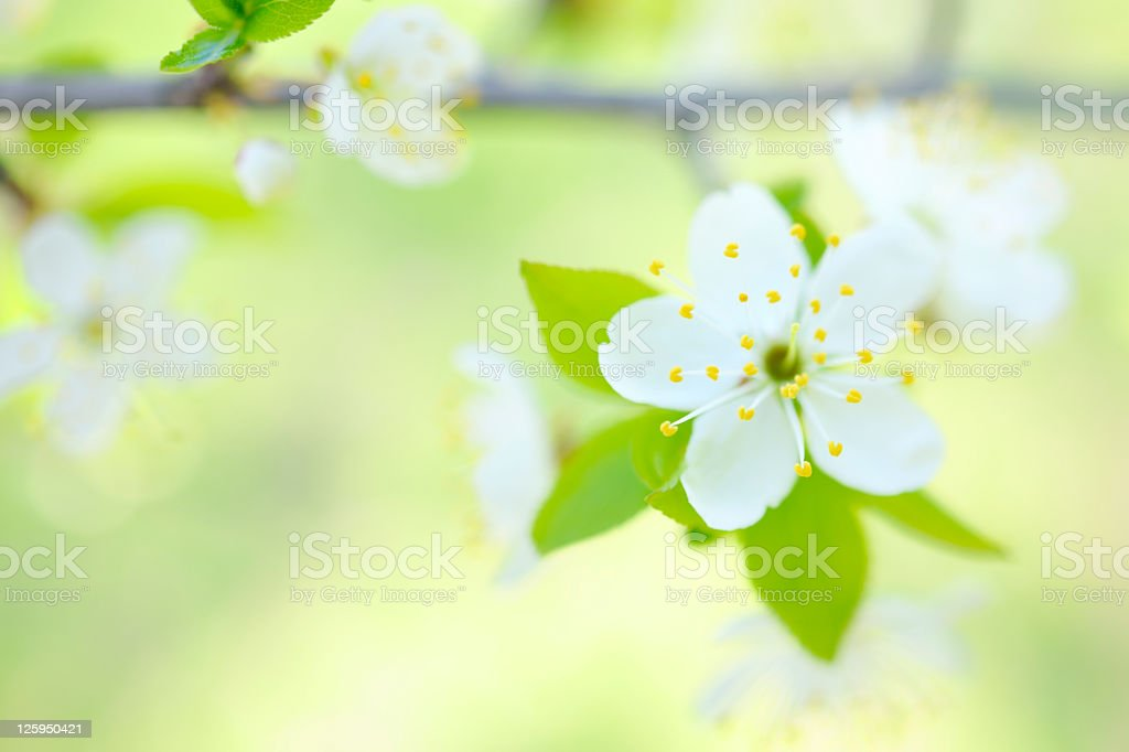 White Spring Cherry Blossom on pastel green background royalty-free stock photo