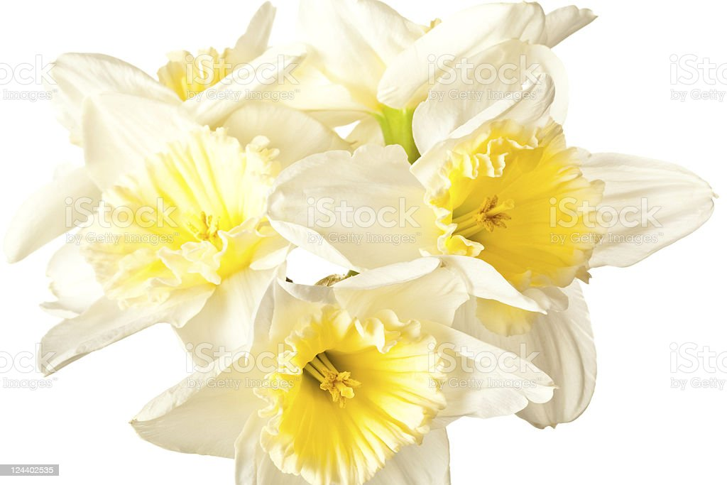 White Spring Daffodil Flower Bunch Isolated royalty-free stock photo