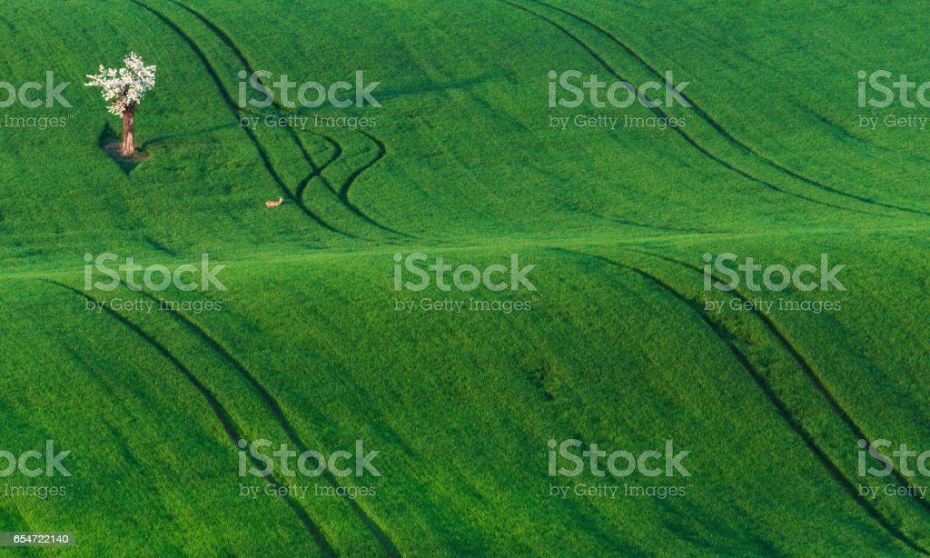 White spring flowering trees and a small deer on background of green wheat hill, which is highlighted by the setting sun. Rolling hills with fields and trees suitable for backgrounds or wallpapers stock photo