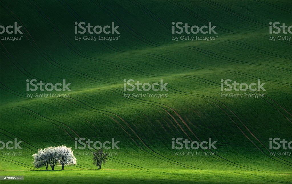 White spring flowering trees on a background of a green hill stock photo