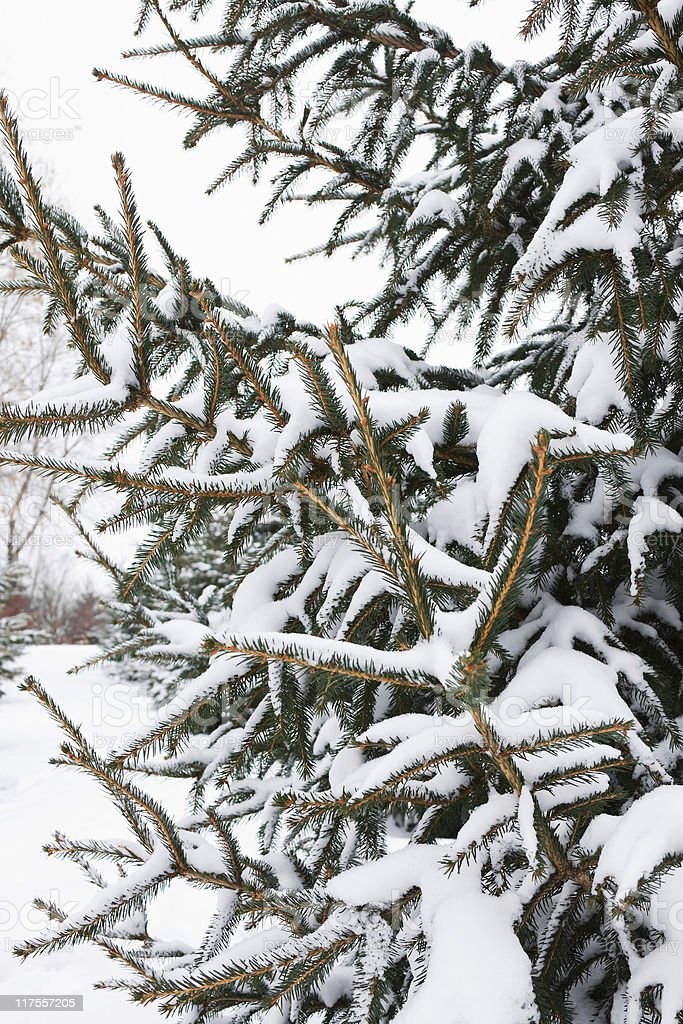 White Spruce Branches with Snow stock photo