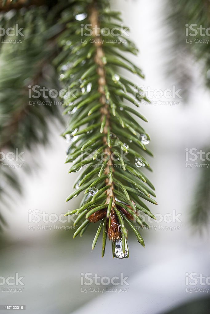 White Spruce Cones stock photo