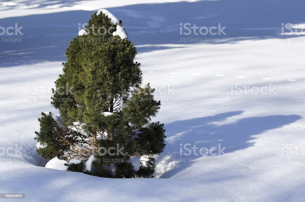 White spruce (picea glauca). stock photo
