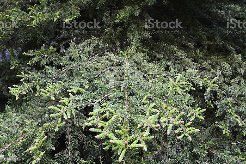 White Spruce Tree Branch stock photo