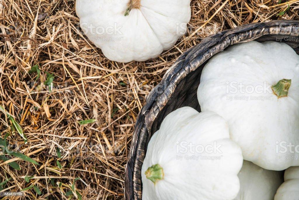 White Squash in Basket on Hay stock photo